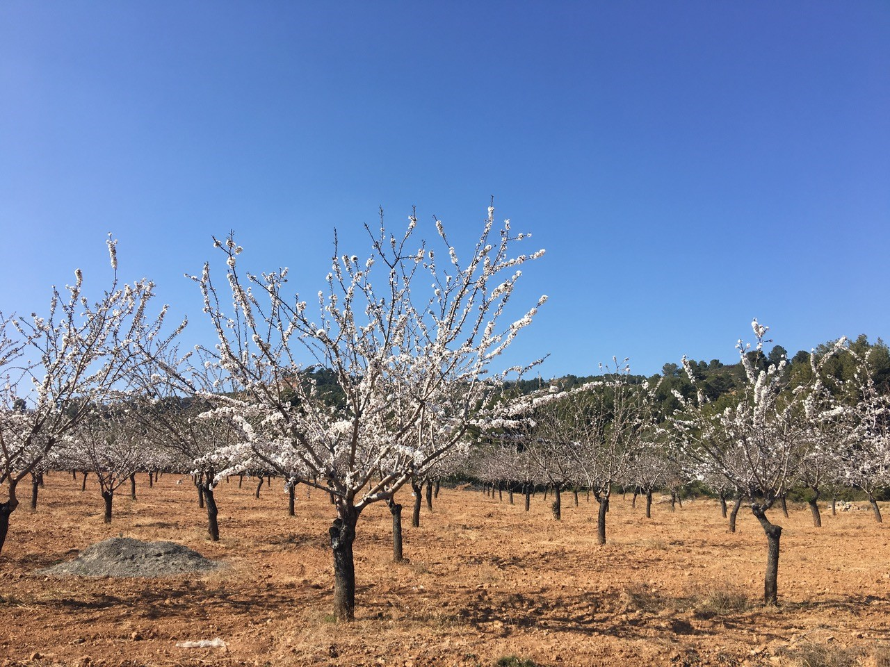 Coaching-Reise in Valencia_Mandelbäume erste Blueten