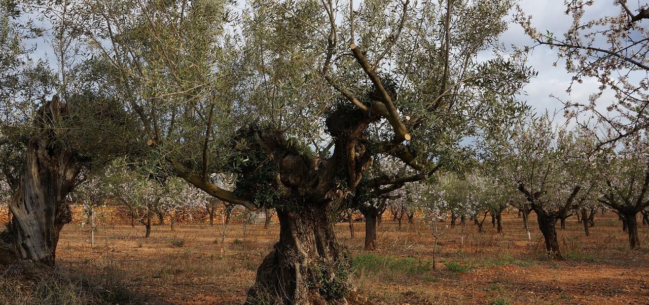Coaching-Reise in Valencia_Olivenbäume und Mandelbäume