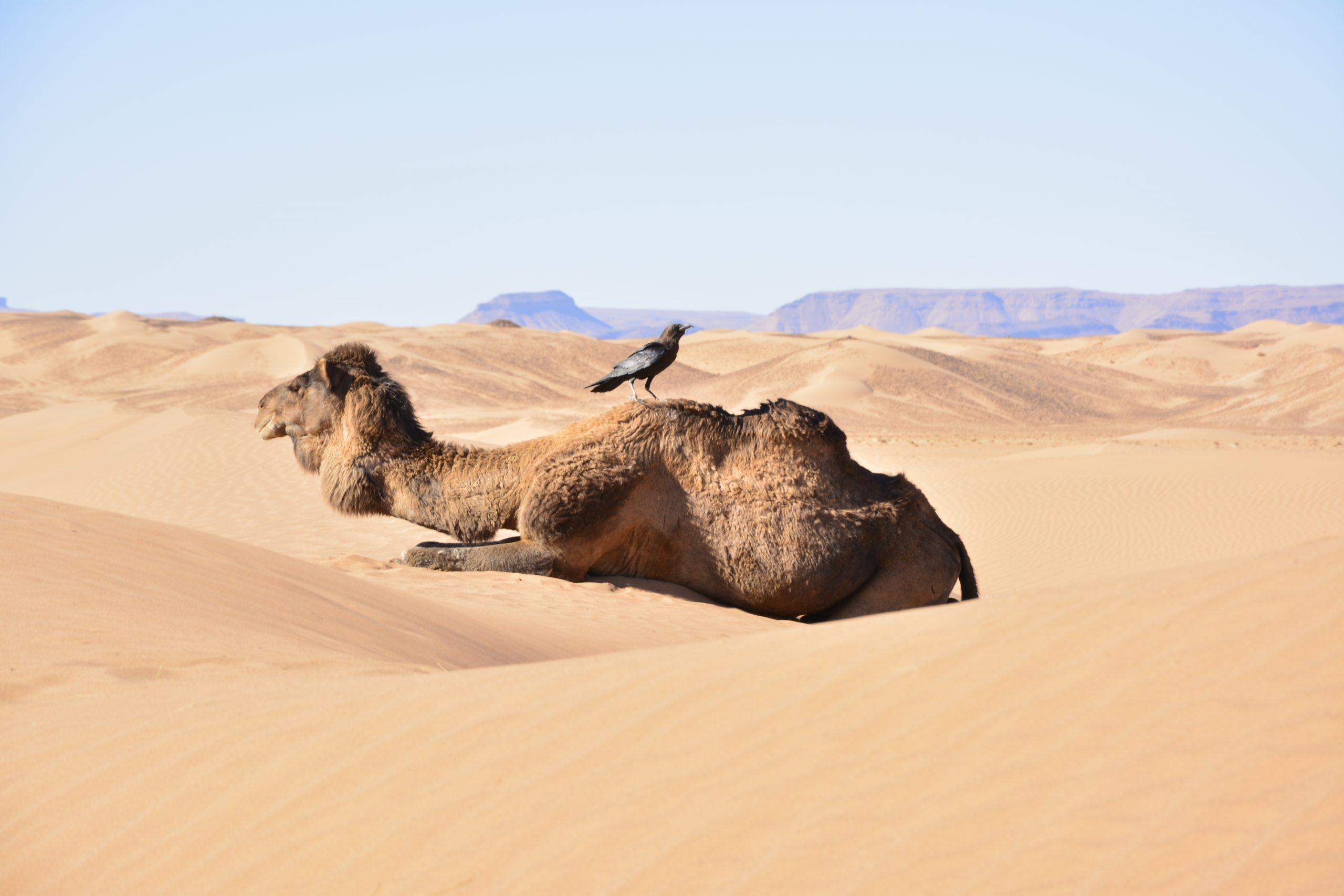 Coaching Reise Wüste Kamel