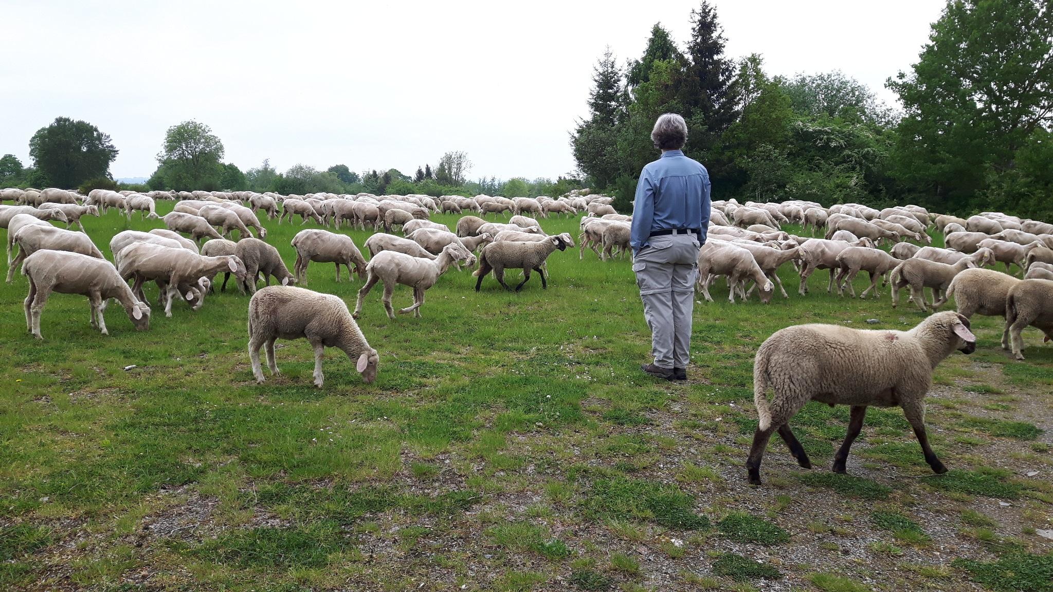 Clemens und die Schafe